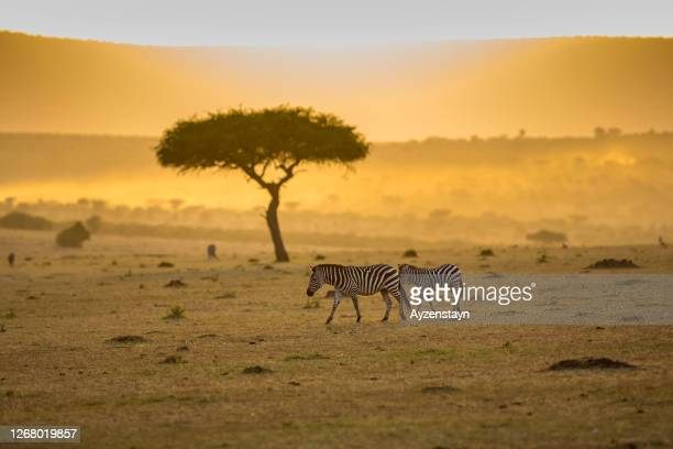 zebras walking at wild early in the morning with sunrise - two animals stock pictures, royalty-free photos & images