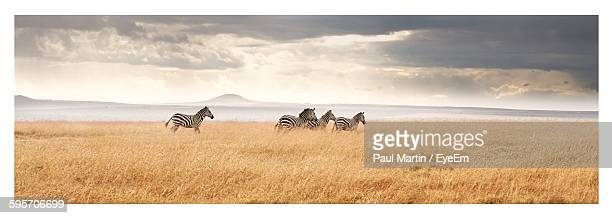 Zebras Walking On Field Against Cloudy Sky
