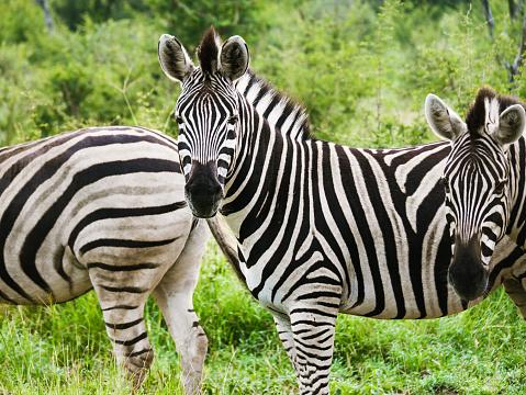 Zebras - wildlife safari, madikwe game reserve, south africa. 1082083762