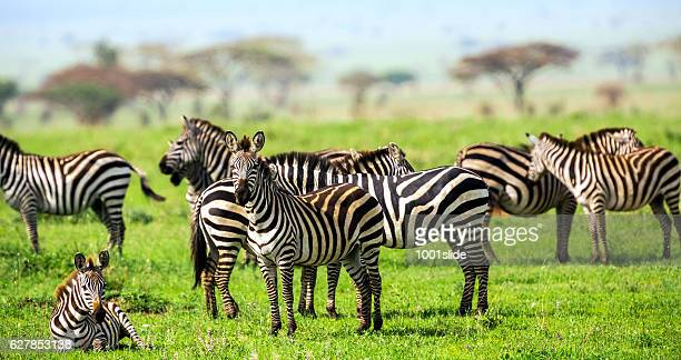 Zebras with African Acacia Trees at Savannah