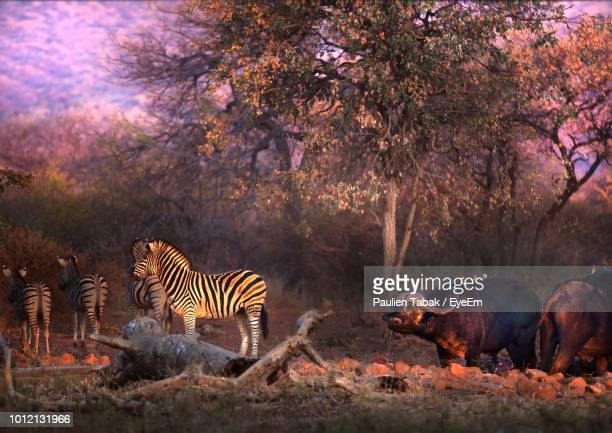 zebras with bulls standing on field in forest - paulien tabak stock pictures, royalty-free photos & images