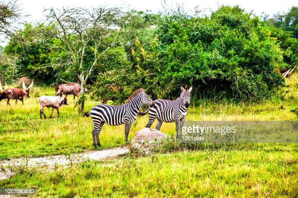 Zebras with Long-Horned Ankole Cattle at Lake Mburo National Park