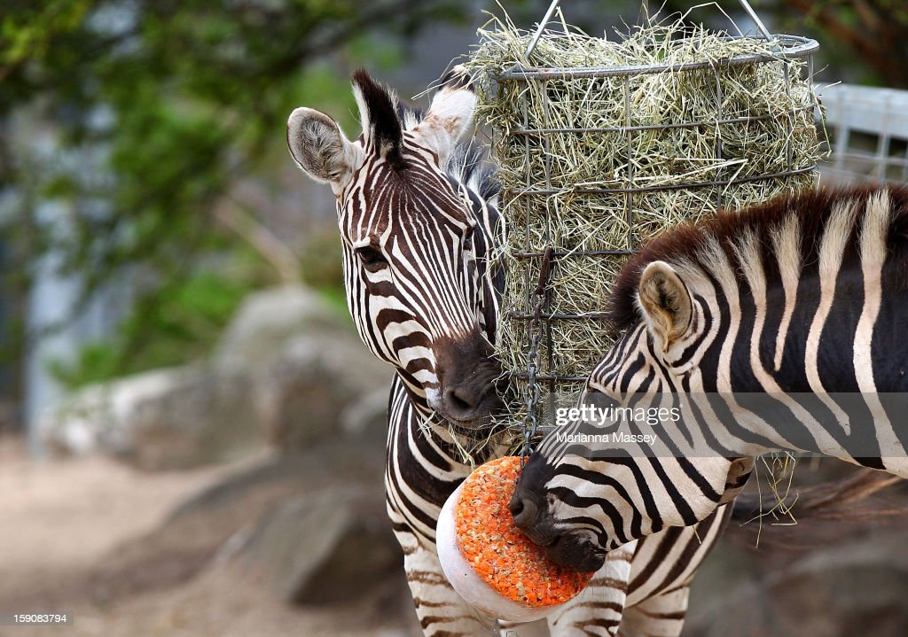 Zebras Zuri and Zibier are treated to a block of frozen carrots at Taronga Zoo on January 8, 2013 in Sydney, Australia. Temperatures are expected to reach as high as 43 degrees around Sydney today.