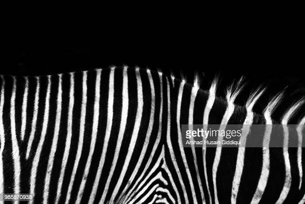 zebrato - zebra stock pictures, royalty-free photos & images