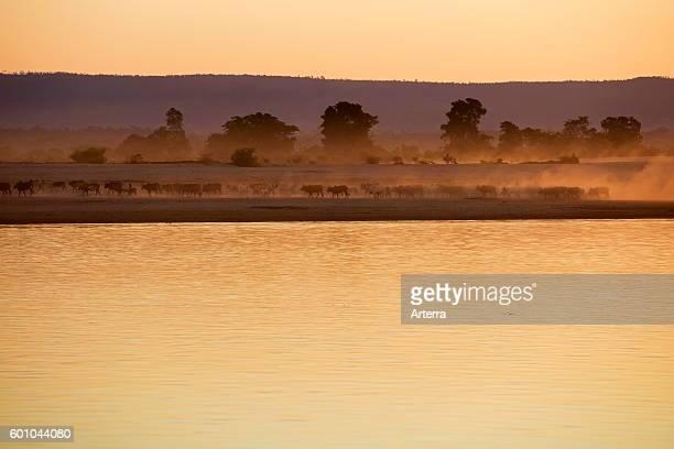 Zebu / humped cattle / Brahman herd kicking up dust along the Tsiribihina / Tsiribinha river at sunset in Menabe Madagascar Southeast Africa