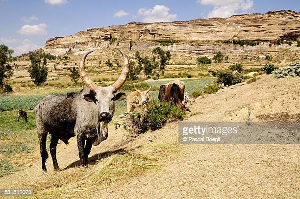 Zebus and mountains in Tigray - Ethiopia