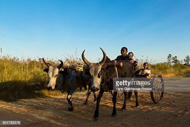 Zebus,Transportation to Mahajanga,Madagascar