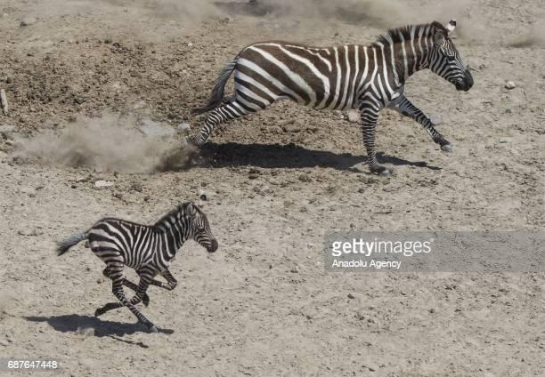 Zelis the newborn baby zebra runs next to with its mother Simarik at Izmir Wildlife Park in Izmir Turkey on May 23 2017 Zelis is a second child of...