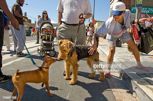 Zena Glenn tries to pet 'Millie' the airedale terrier as he greets a passing dog at the H Street Festival today in Washington DC on September 18 2010...