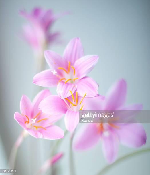Zephyr lilies