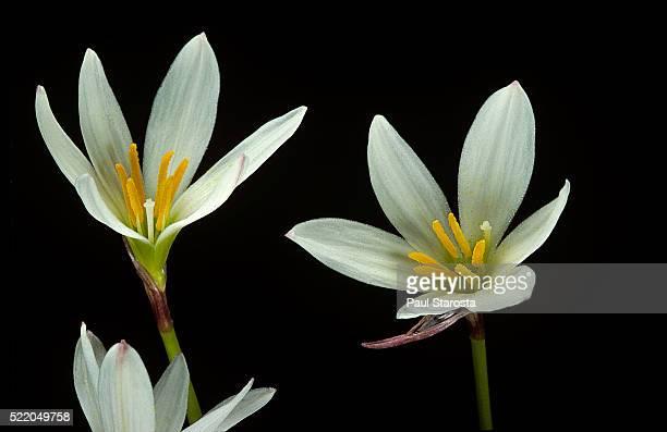 zephyranthes candida (white windflower, peruvian swamp lily, autumn zephir lily, fairy lily) - schimmelinfectie stockfoto's en -beelden