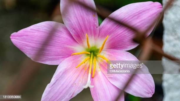 zephyranthes rosea - crmacedonio stock-fotos und bilder