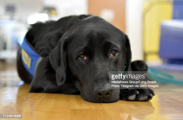 Zeta a 2 year old Labrador/Golden Retriever mix is the first full time therapy dog at Miller Children's and Women's Hospital in Long Beach on Friday...