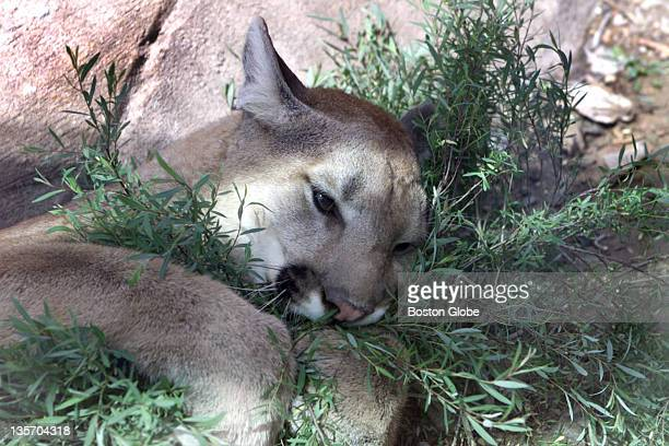 Zeus a 15monthold Cougar frolics in a shrub during his third day in his brand new quarters in the exhibit called Sierra Madra which opens June 15 at...