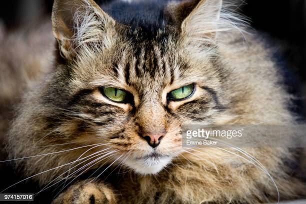 zeus the cat - emma baker stock pictures, royalty-free photos & images