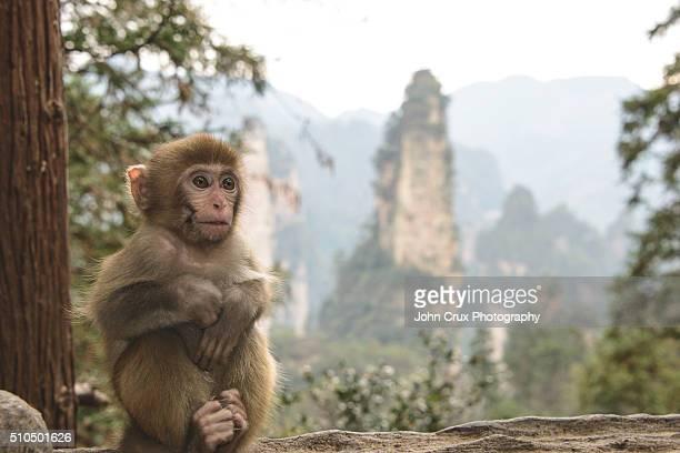 zhangjiajie baby monkey - マカク属 ストックフォトと画像