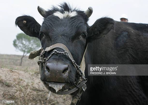 A farmer waits beside her cow grazing on the dry terrain on the outskirts of Zhangjiakou 25 May 2006 in northern China's Hebei province China...
