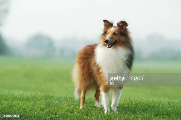 zhengzhou,china - east asia - collie stock photos and pictures