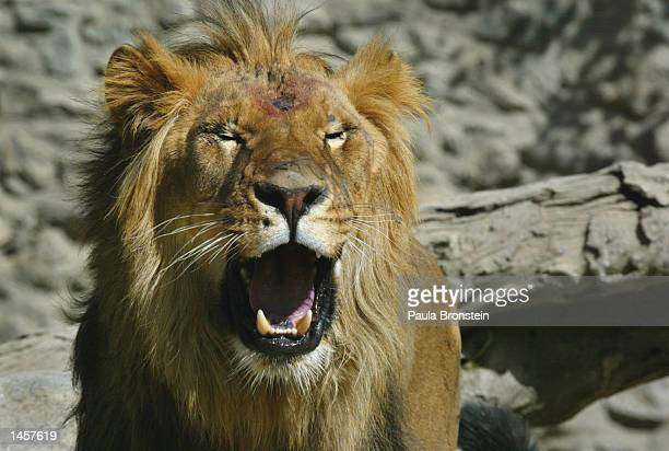Zhuang Zhuang an African lion walks around his new home at the Kabul Zoo October 3 2002 in Kabul Afghanistan Lions Zhuang Zhuang and Kelly were...
