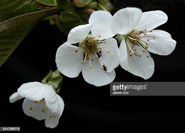Zierkirsche Blüte weiss