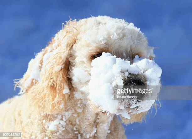 Ziggy a golden doodle dog plays in the snow in the aftermath of Winter Storm Jonas on January 24 2016 in Melville New York