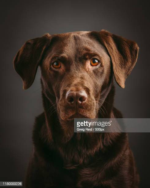 ziggy - chocolate labrador stock pictures, royalty-free photos & images