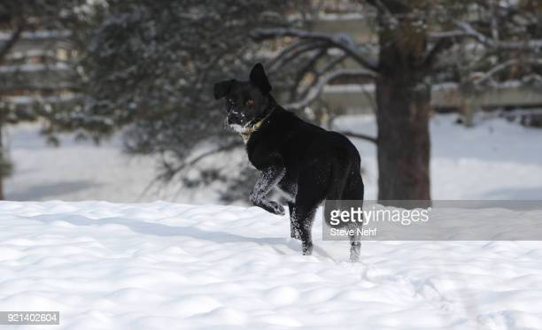 Ziggy Wiz a border collie mix holds a cold paw out of the snow at Pioneer Park Tuesday morning February 20 2018 The sun peeked through the clouds by...