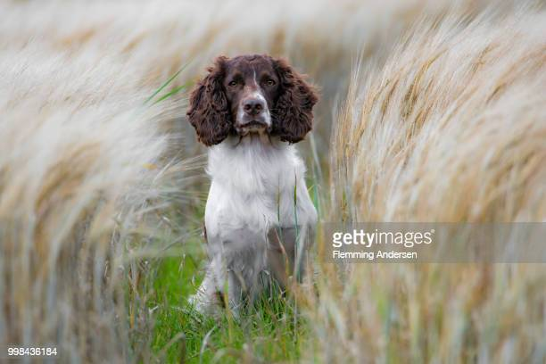 zigzag in field - english springer spaniel stock pictures, royalty-free photos & images