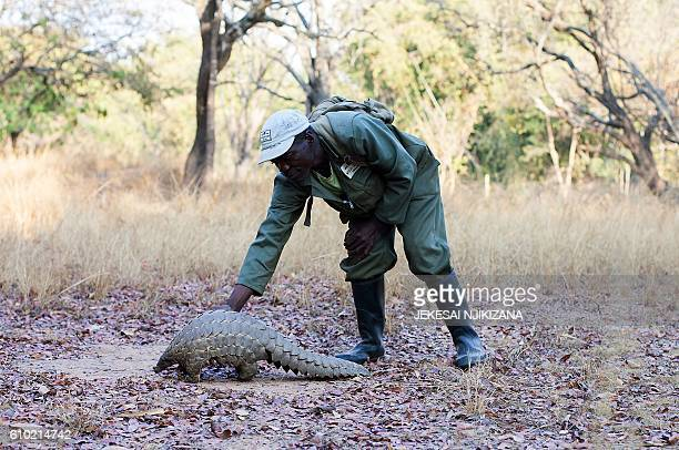 Zimbabwe game reserve guide Matius Mhambe holds 'Marimba' a female pangolin weighing 10kgs that has been nine years in care at Wild Is Life animal...