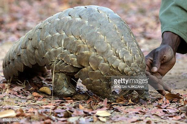 Zimbabwe game reserve guide Matius Mhambe touches Marimba a female pangolin weighing 10kgs that has been nine years in care at Wild Is Life animal...
