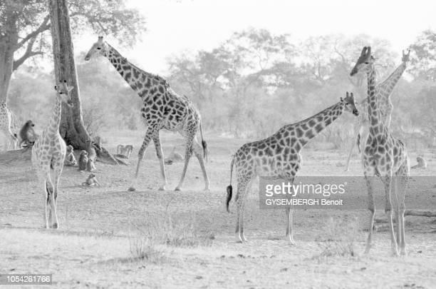 Zimbabwe juin 1992 Le parc national Hwange d'une superficie de 14 620 km2 est l'un des sanctuaires naturels les plus importants pour la faune...