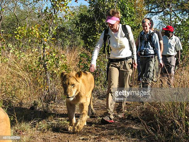 zimbabwe - lion rehabilitation - wildlife reserve stock pictures, royalty-free photos & images
