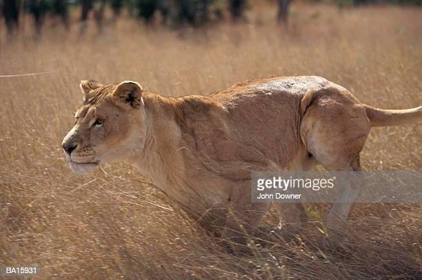 Zimbabwe, lioness running (Panthera leo)