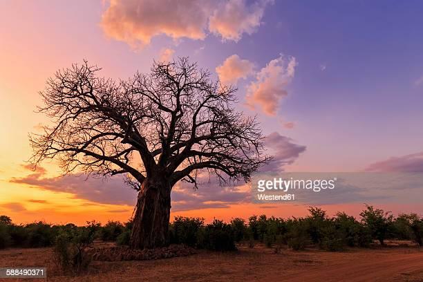 Zimbabwe, Masvingo, Gonarezhou National Park, baobab at sunset