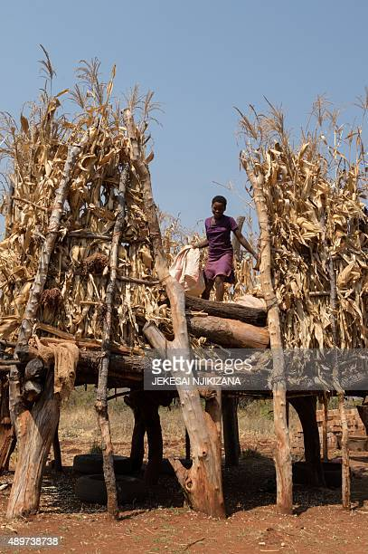 A zimbabwean girl Vimbiso Chidamba inspects some of the few remaining maize cobs in the family's granary as she gathers cobs in a sack for milling at...