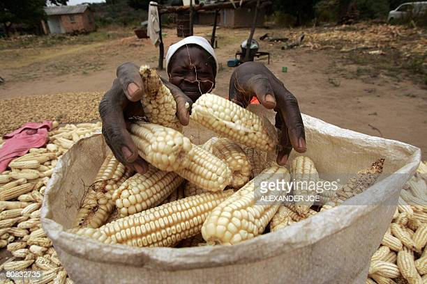 A Zimbabwean woman puts maize into a bag in Domboshawa on April 23 2008 She managed to get three bags from this year's harvest that has to feed a...