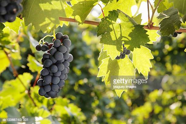 Zinfandel grapes on vine