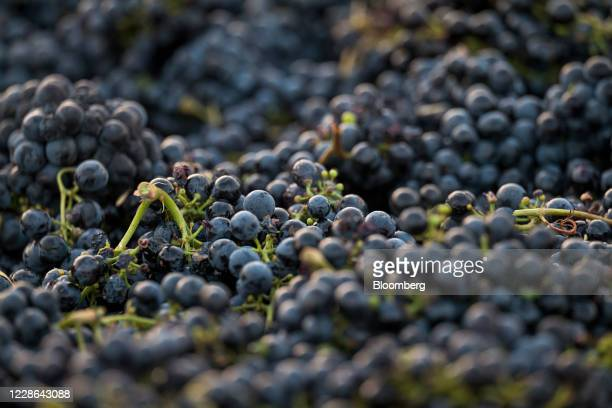 Zinfandel grapes sit in a bin at a vineyard in Kenwood California US on Monday Sept 21 2020 Smoke from the LNU Lightning Complex wildfires may have...