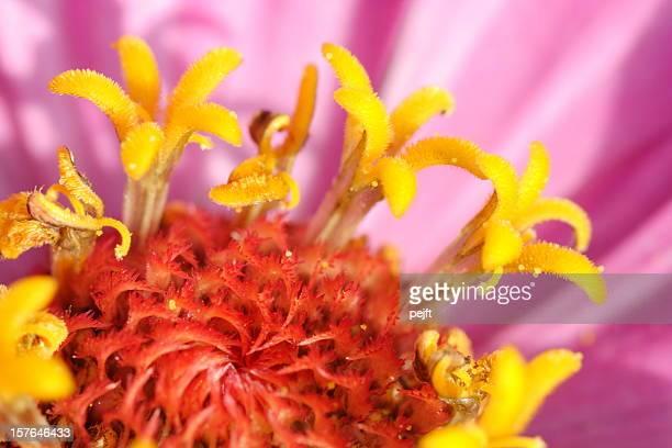 Zinnia -  Asteraceae