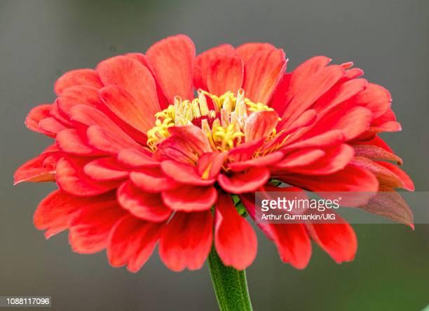 zinnia flower - arthur foto e immagini stock