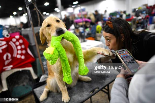 Zipadee a 3 year old Golden Retriever bites a frog toy while an attendee kisses her left paw during the National Dog Show held at the Greater...