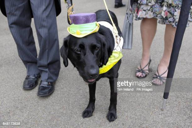 Zoey the guide dog arrives for Ladies Day during day three of the 2012 Royal Ascot meeting at Ascot Racecourse, Berkshire.