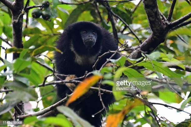 Zogue zogue monkey eats fruits in a tree at the Amana Sustainable Development Reserve, in Amazonas State, northern Brazil on April 27, 2019. - The...