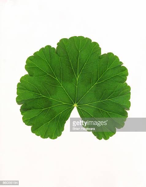 Zonal geranium leaf