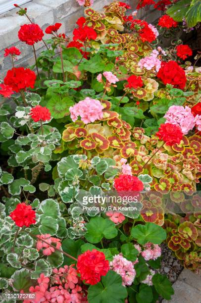 Pelargoniums Stock Pictures Royalty Free Photos Images Getty