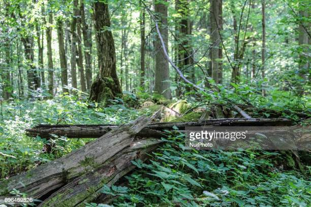 Zone of Bialowieza Forest Biosphere Reserve is seen in Bialoweza Poland on 15 June 2017 Bialowieza Forest is one of the last and largest remaining...