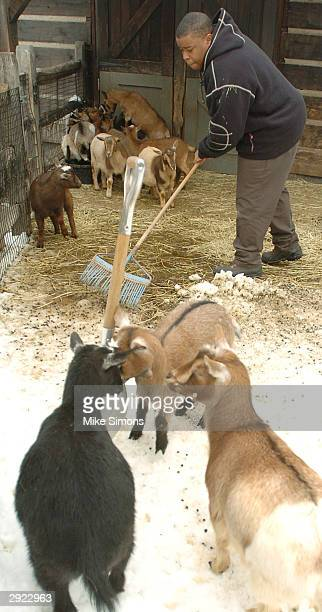 Zoo Academy student Willie Franklin cleans the habitat of Nigerian Dwarf Goats February 2 2004 in Cincinnati Ohio The Zoo Academy is part of the...