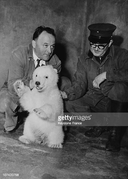 Zoo De Vincennes Birth Of A White Polar Bear In Paris On April 1955