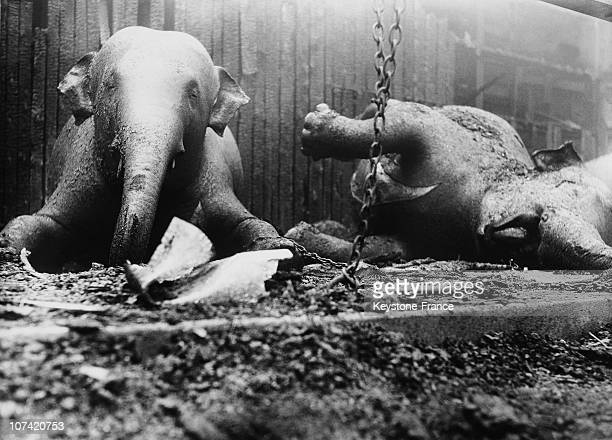 Zoo De Vincennes Dead Elephants After The Blazing In Paris On December 1933