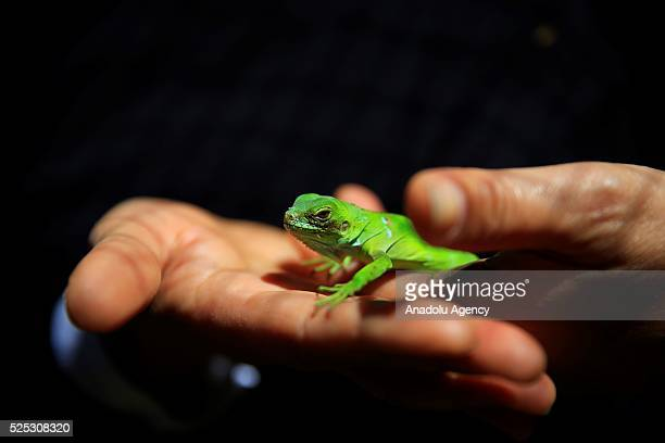 A zoo employee holds a three week old baby green iguana '' Musti'' changing its color depend on temperature health and social status at Antalya...